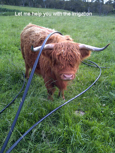 Cow with irrigation hoses tangled over it