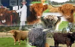 Highland Cattle Picture Collage