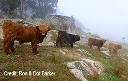 Highland Steers at the base of the Australian Alps