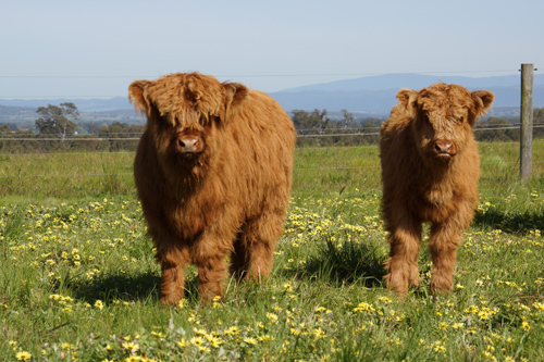 Highland Heifers on the hill